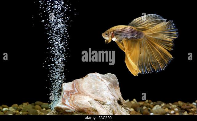 Betta Fish Stock Photos Betta Fish Stock Images Alamy