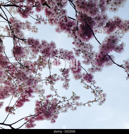 Cherry Blossom - Stock Image