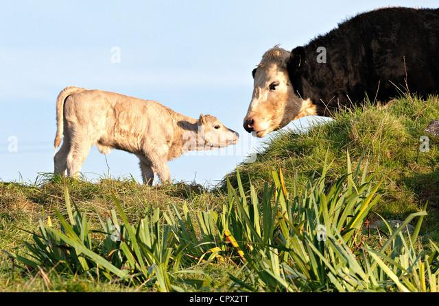 Cow and newborn calf - Stock Image