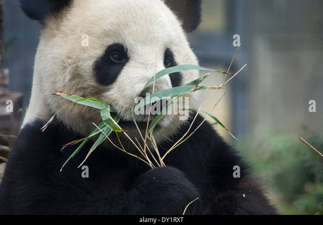 Panda Bear  eating bamboo at Ueno Zoo, Tokyo, Japan - Stock Image