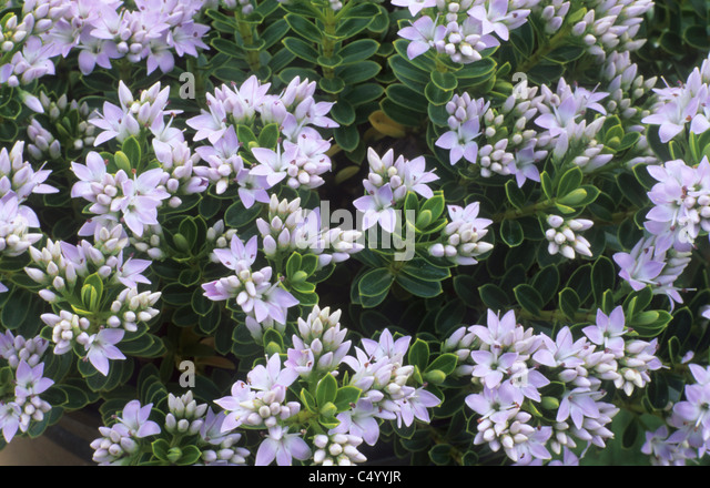 Hebes stock photos hebes stock images alamy for Hebe pianta