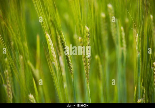Close up shot of Barley - Stock Image
