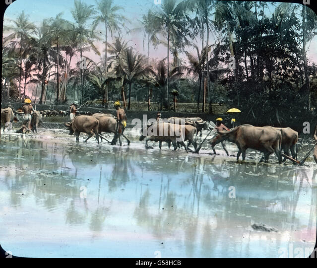 Bauern pflanzen Reis als Ernährungsgrundlage an. India, Asia, travel, farmer, rice, food, ploughing, ox, 1910s, - Stock Image