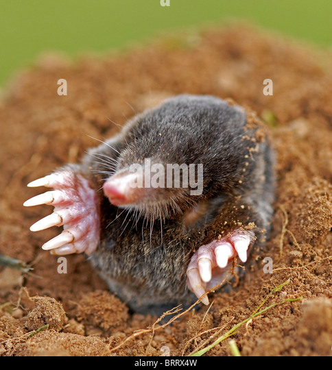 The mole (talpa europaea)  regarded as a pest in the garden - Stock-Bilder