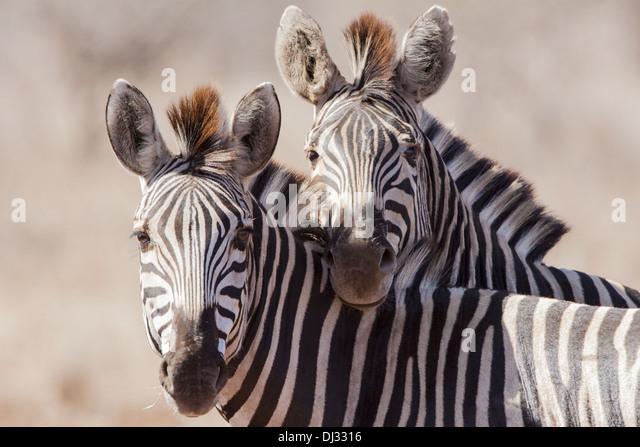 Plains Zebra (Equus quagga) - Stock Image