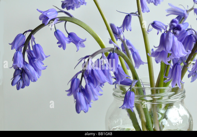 Bluebells in a jam jar - Stock Image
