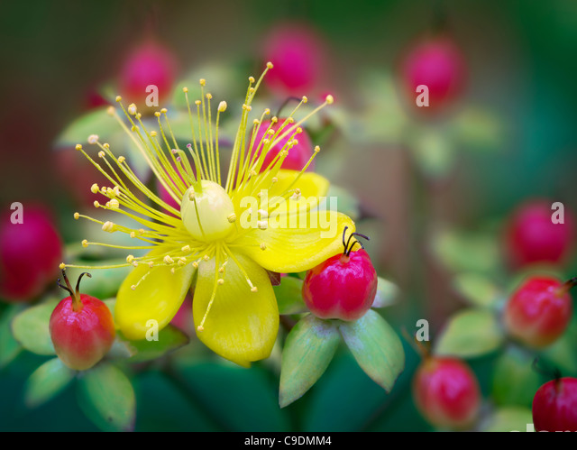 Close up of Hypericum - Mystical Red Star. - Stock Image