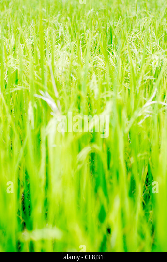 rice field in philippines, for agriculture background - Stock-Bilder