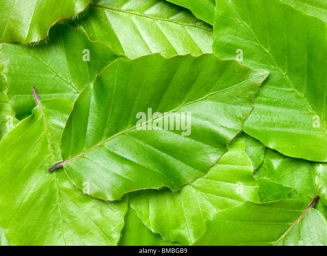Beech leaves, Fagus sylvatica. - Stock-Bilder