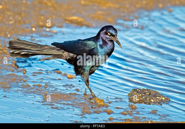 Male Boat-tailed Grackle - Stock-Bilder