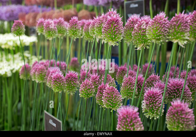 Gold medal alliums on display at the RHS Hampton Court Flower Show 2015 - Stock Image