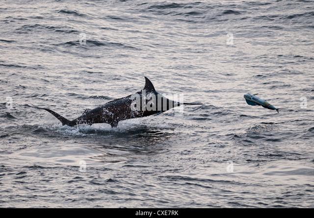 Blue Marlin (Makaira nigricans) hunting Dorado (Coryphaena hippurus), Congo, Africa - Stock-Bilder