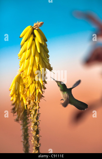 The Netherlands, Oranjestad, Sint Eustatius Island, Dutch Caribbean. Antillean Crested Hummingbird. Female. - Stock-Bilder