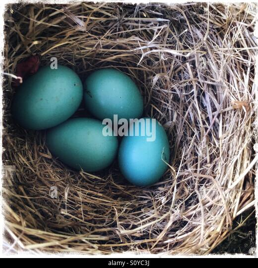 Blue eggs in a robins nest - Stock-Bilder
