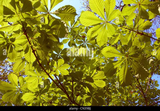 Sunlight through horse chestnut leaves - Stock Image