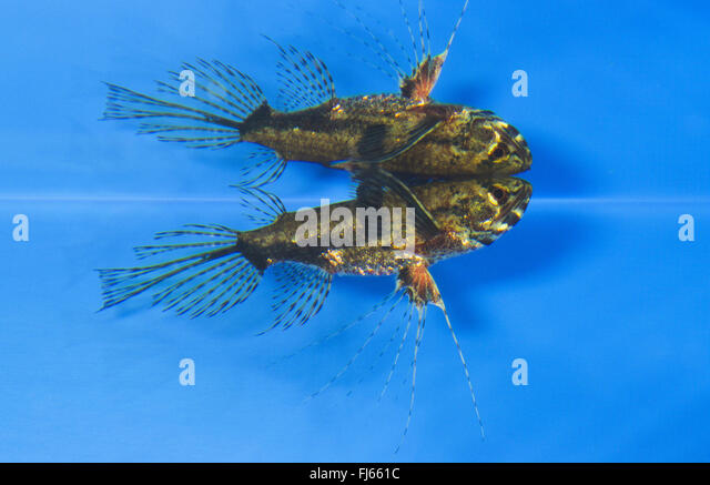 Butterfly fishes stock photos butterfly fishes stock for Freshwater butterfly fish