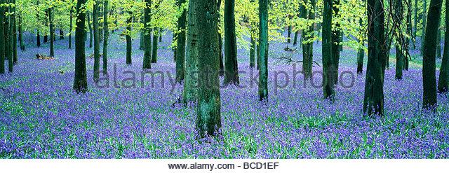 BLUEBELLS and Beech woodland. Buckinghamshire. UK. April - Stock-Bilder