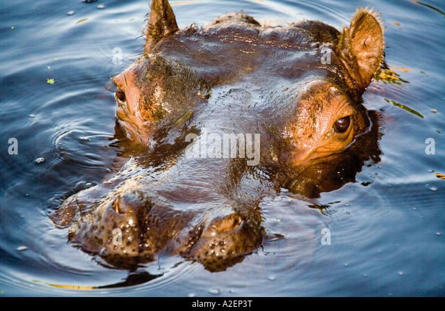 Germany, Gelsenkirchen, Zoom Erlebniswelt, Hippopotamus - Stock-Bilder