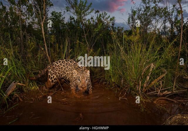 A Jaguar explores a wetland at sunset - Stock Image
