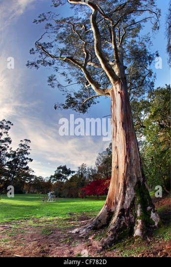 Beautiful tree towers above the grounds of Mount Stewart, Northern Ireland. - Stock-Bilder