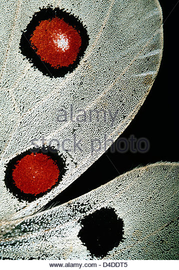 macro shot of a Parnassius apollo x8 (Colour Enhanced) - Stock-Bilder