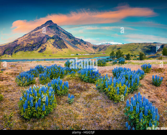 Blooming lupine flowers near majestic Skogafoss waterfall in south Iceland, Europe. Colorful summer landscape in - Stock Image