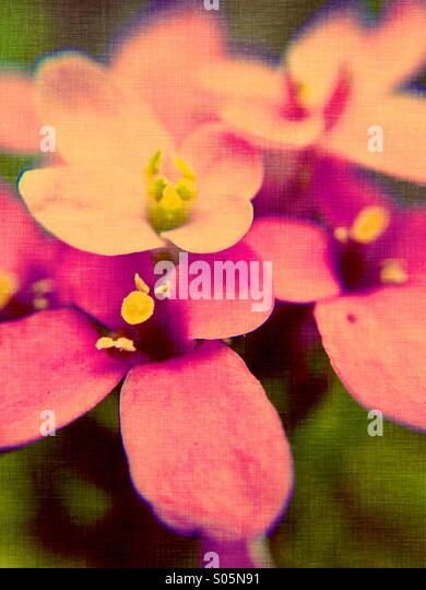Close up of candy tuft flowers - Stock Image