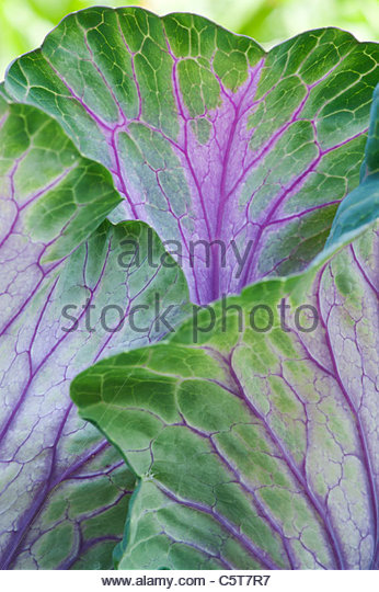 Brassica oleracea . Ornamental Cabbage 'Tokyo mix' leaves - Stock Image