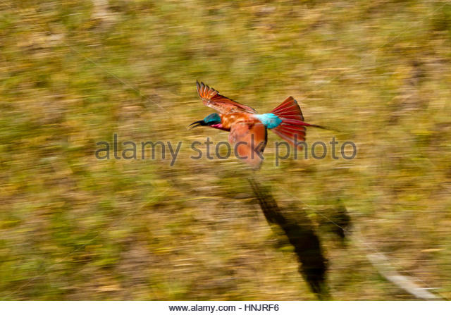A Southern Carmine Bee-Eater, Merops nubicoides, in flight. - Stock Image