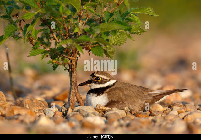 Little ringed plover (Charadrius dubius), sitting on nest, brooding, biosphere reserve Mittlere Elbe, Saxony-Anhalt, - Stock Image