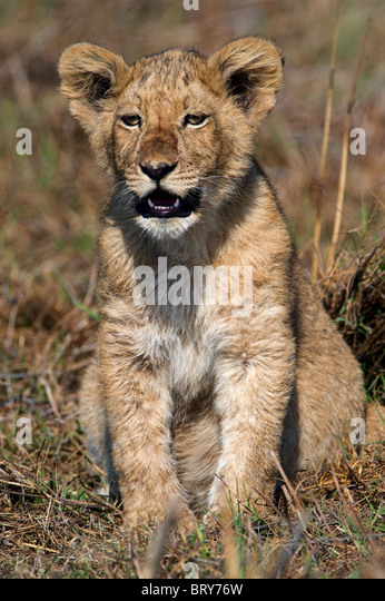 Lion jr. - Stock Image