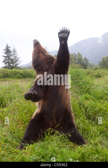 Male Brown bear stands upright with one paw and head stretched skyward, Alaska. Captive - Stock Image