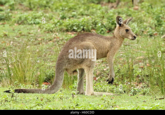A juvenile Kangaroo looking away. - Stock Image