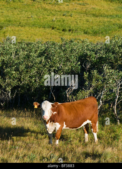 Livestock - Hereford heifer on native mountain rangeland / Alberta, Canada. - Stock-Bilder