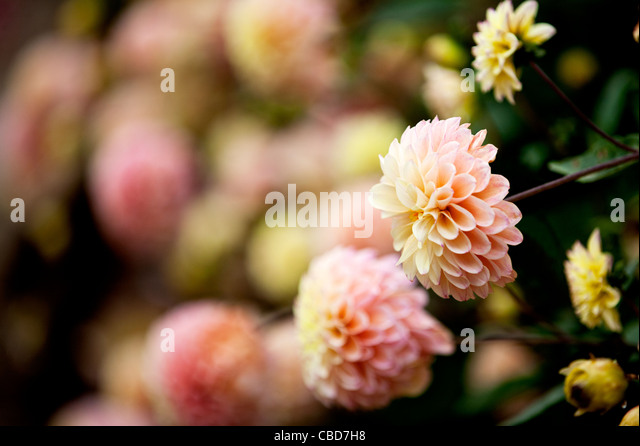 Peach and yellow Dahlia flowers in bloom - Stock-Bilder