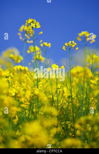 Brassica napus oleifera, Oilseed rape, Yellow. - Stock Image