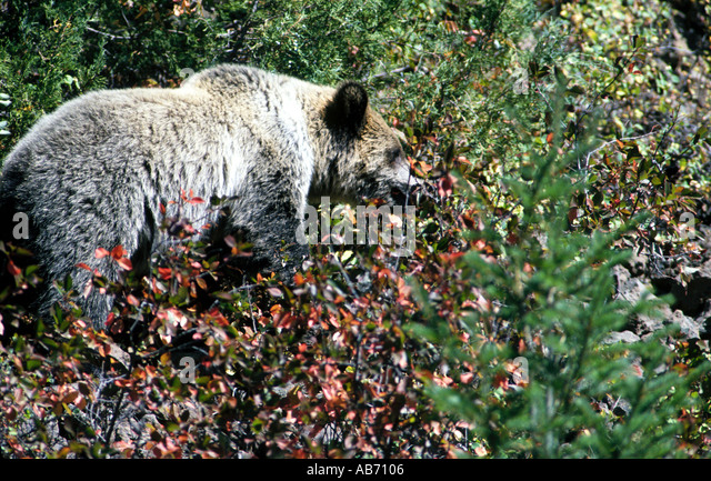 Grizzly bear Ursus arctos horribilis feeds on berries just east of Yellowstone National Park COPYRIGHT DUANE BURLESON - Stock Image