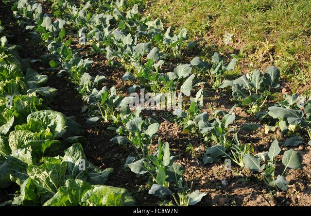 Turnip cabbage - Stock Image