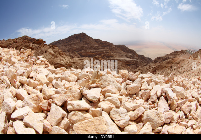 lizerd on mount Jebel Hafeet, Al Ain, United Arab Emirates - Stock Image