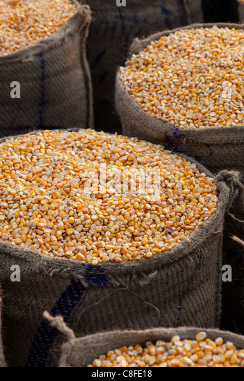 Dried Maize / Corn kernels bagged up in hessian sacks in India - Stock Image