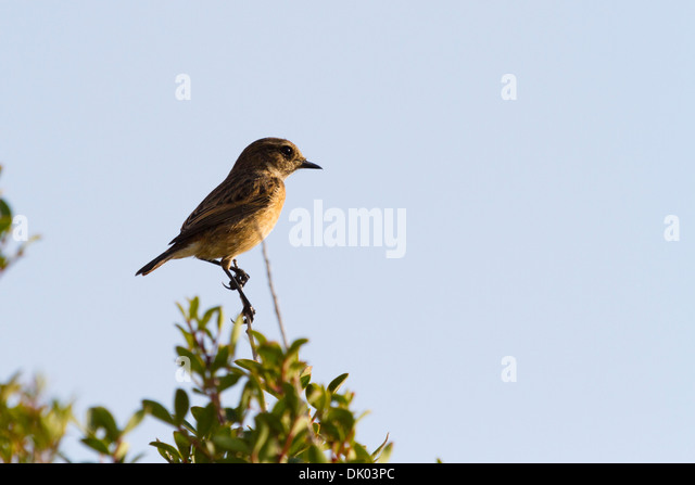 Cypriot bird - Stock Image