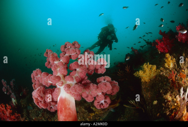 reef with big soft corals and scuba diver - Stock Image