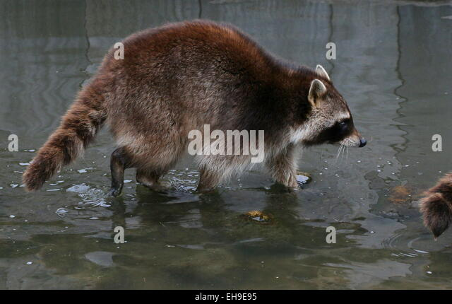 North American or  northern raccoon ( Procyon lotor) walking in shallow water at Rotterdam Blijdorp Zoo, The Netherlands - Stock Image
