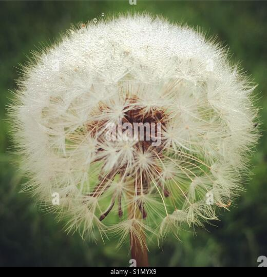 A close up view of a dandelion clock seed head in the morning dew. - Stock Image