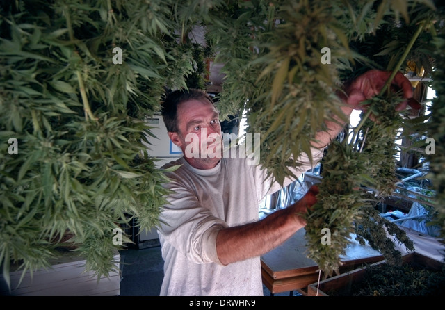 A WAMM medical Marijuana group member with dried marijuana in a shed on the group's property in the Santa Cruz Mountains, - Stock Image