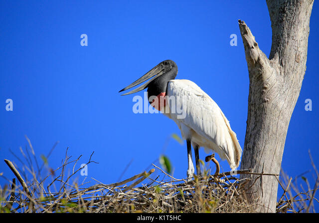 Jabiru (Jabiru mycteria) in its Nest. Pantanal, Brazil - Stock Image