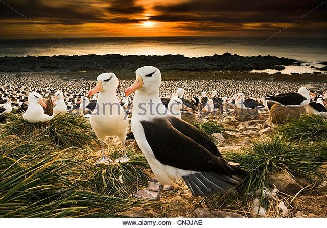 Black-browed albatross, Falkland Islands - Stock-Bilder