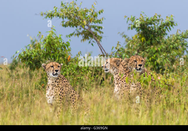 Three cheetahs sitting together in grass looking around like they are hunting, two looking towards camera, Masai - Stock-Bilder