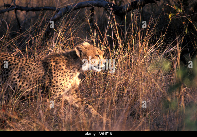 Africa Cheetah Running Through the Grass - Stock Image