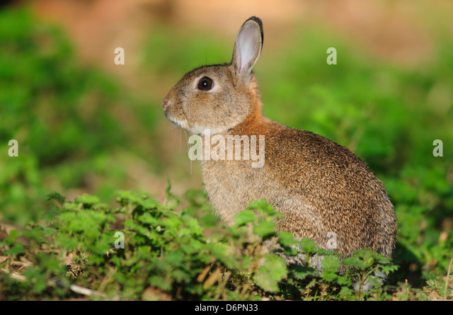 A rabbit in green vegetation - Stock Image